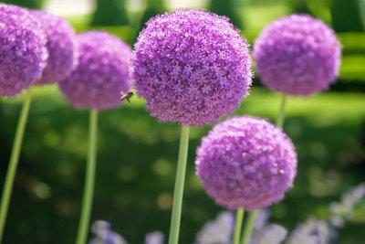 Die kugelförmigen Blüten des Zierlauchs sind ein Blickfang.