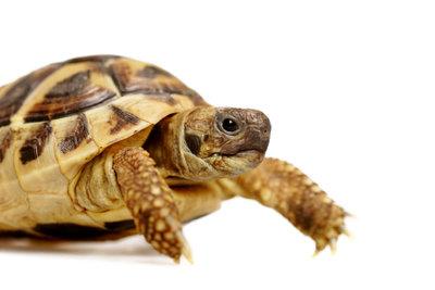Krallen muss man nicht scheiden, wenn Landschildkröten artgerecht gehalten werden.