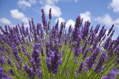 Damit im nächsten Sommer Ihr Lavendel wieder prächtig blüht, braucht er im Winter Schutz und Pflege.
