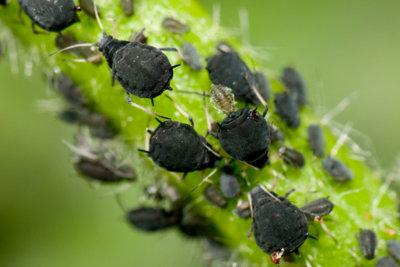 So werden Sie schwarze Blattläuse auf blühenden Pflanzen schonend los.