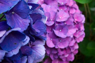 Bekommen Sie braune Flecken in den Griff und freuen Sie sich an schönen Hortensien.