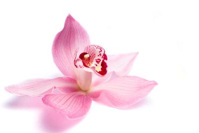 Eine blühende Orchidee - eine wunderschöne Blume