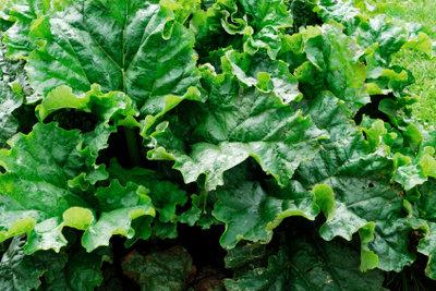 Die Blätter unseres Speiserhabarbers sehen dem wildem Rhabarber zum Teil sehr ähnlich.