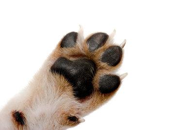 Die Hundekrallen müssen geschnitten werden, wenn der Hund sie nicht selbst abnutzt.