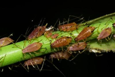 Lästige Blattläuse auf Balkonpflanzen sollten effektiv bekämpft werden, da sie sich sehr schnell vermehren.