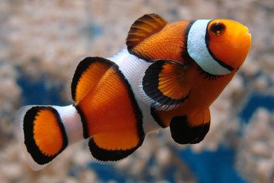 Clownfische sind vergleichsweise leicht zu halten, benötigen aber unbedingt eine Symbioseanemone.
