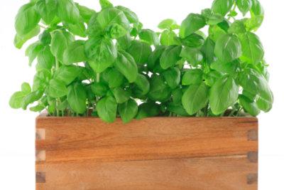 Bei braunen Blättern hat es Ihr Basilikum meistens zu kalt oder zu feucht.