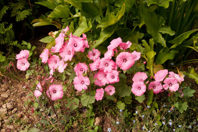 Richtiges Schneiden regt Malven zum Blühen an.