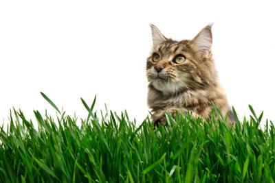 Von der Wohnung an die frische Luft. So gewöhnen Sie Ihre Katze an die Leine.