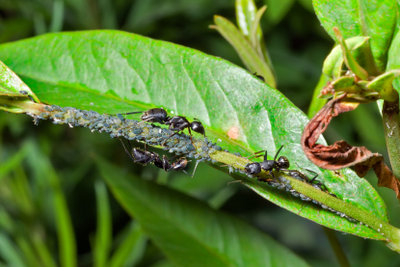 Bei Ameisenbefall an Pflanzen melken diese dort oft Läuse.