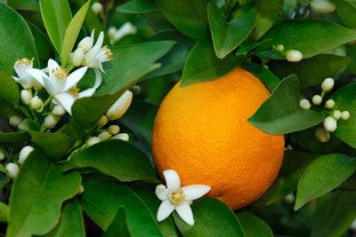 Ein prachtvoller Orangenbaum will richtig gepflegt sein.