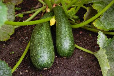 Die Pflege einer Zucchinipflanze ist unproblematisch - selbst für Gartenneulinge.