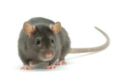 So vertreiben Sie Ratten wirksam!