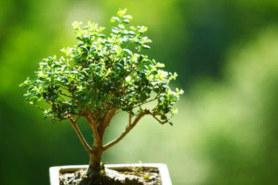 Bonsai züchten nach Anleitung