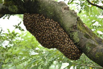 Bienen im Garten können unter Umständen entfernt werden.