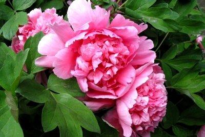 Begeistern durch ihre Blütenpracht - Pfingstrosen.