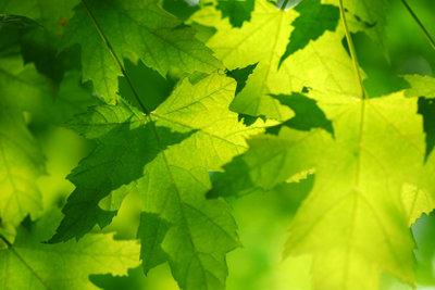 Erst grün, dann bunt - der Ahorn im Garten.