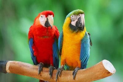 Einen Ara-Papagei zuhause zu halten ist gar nicht so einfach!