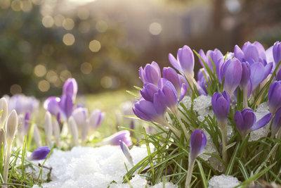 Mit Krokussen beginnt der Farbrausch schon ab Februar oder März.