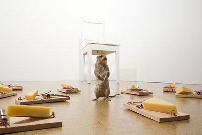 Ratten sind oft zu schlau, um in die Falle zu gehen.