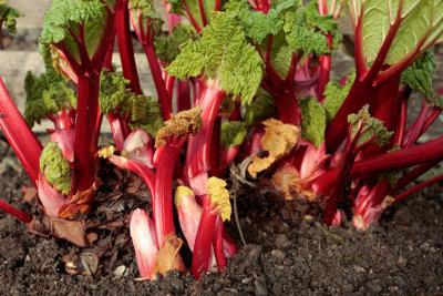 Der Rhabarber ist eine klimatisch widerstandsfähige Pflanze.