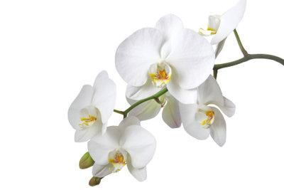 Orchideen sind faszinierende Zierpflanzen.