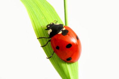 Der Marienkäfer gilt als einer der bekanntesten und am leichtesten zu bestimmenden deutschen Käfer.