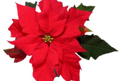 Ein Weihnachtsstern ist wunderschön und pflegeleicht.