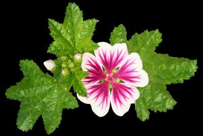 Mit ihren aparten Blüten gehören Malven zu den schönsten Gartenpflanzen.