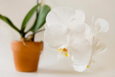 Wenn Orchideenerde schimmelt, hilft Umtopfen.