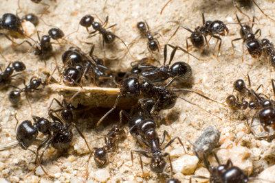 Es gibt wirkungsvolle Hausmittel, um Ameisen wieder loszuwerden.