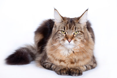 Tierheimkatze: Darauf müssen Sie beim Menkun-Kauf achten!