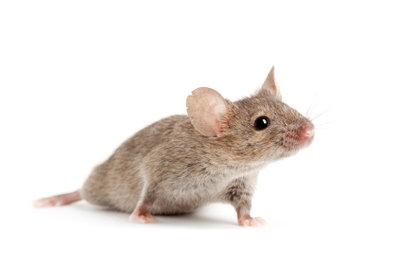 Harmlos und leicht zu fangen ist eine wildlebende Maus.
