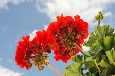 Geranien sollten Sie überwintern, damit sie im Frühjahr wieder blühen.