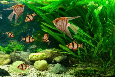 Hier sehen Sie typische Bewohner eines Kaltwasseraquariums.