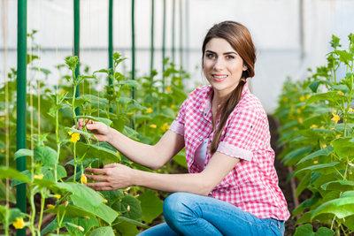 Entfernen Sie Nebentriebe, um die Pflanzen zu kräftigen.