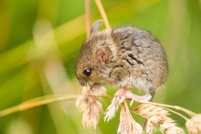 Mäuse lassen sich mithilfe von Ultraschall vertreiben.