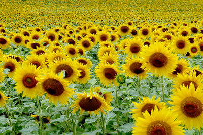 Die Mundspülung mit Sonnenblumenöl wirkt entgiftend und bessernd bei vielen Erkrankungen.