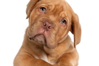 """In jungen Jahren können Sie Ihrem Hund am meisten beibringen, so auch die Grundkommandos """"Sitz"""" und """"Platz""""."""