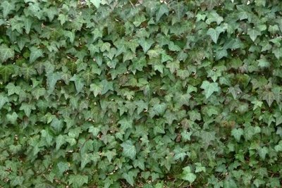 Efeu wächst überall dort, wo seine Haftwurzeln Halt finden.