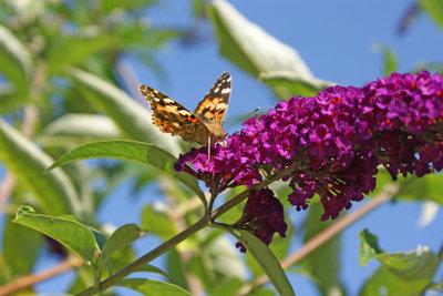 Ein gut gepflegter Schmetterlingsbaum lockt im Sommer Schmetterlinge an.
