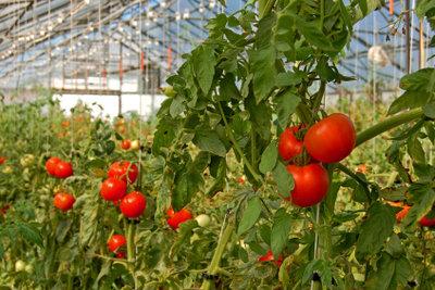 Im selber gebauten Gewächshaus fällt die Ernte garantiert reichhaltig aus.