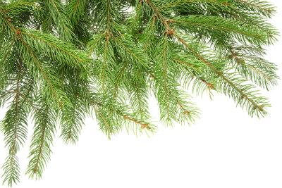 Frisch wie am ersten Tag, wenn Sie den Christbaum richtig wässern.