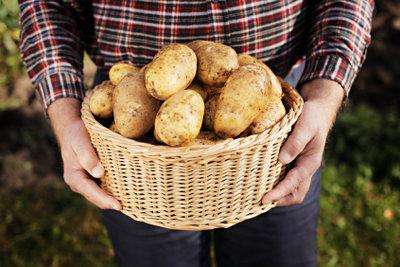 Kartoffeln selbst zu stecken und zu ernten, steigert den Genuss.