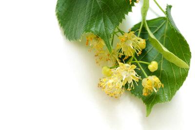Lindenblüten können Sie im Juni und Juli sammeln.