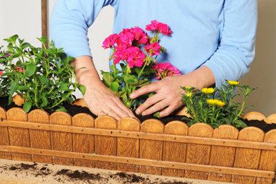 Geranien sind schnell gepflanzt und pflegeleicht.