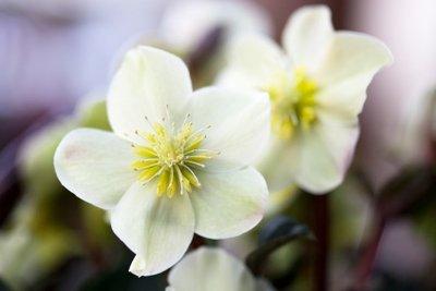 Die Christrose blüht schon im Winter.