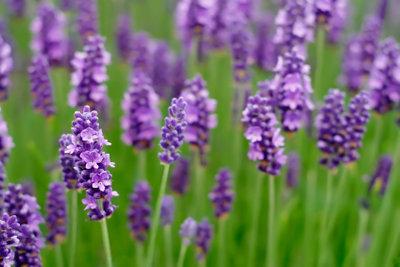 Ameisen können auch natürlich vertrieben werden, zum Beispiel mit Lavendel.