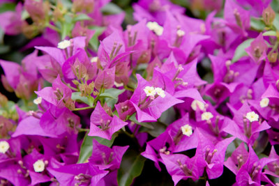 Die Blütenpracht der Bougainvillea.