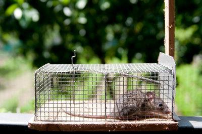 Mausefalle aufstellen: Mit einer Lebendfalle fangen Sie jede Maus!
